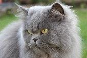 nice Persian cat