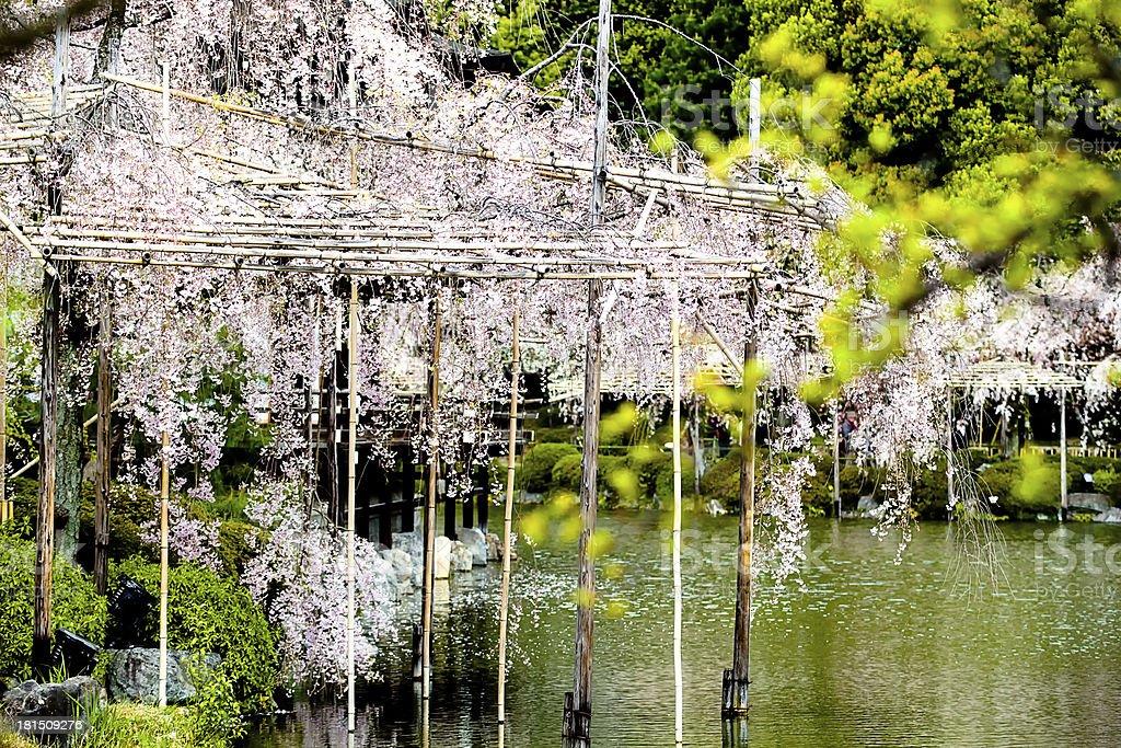 Nice sakura background royalty-free stock photo
