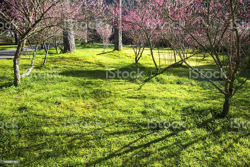 Nice sakura background royalty-free stock photo