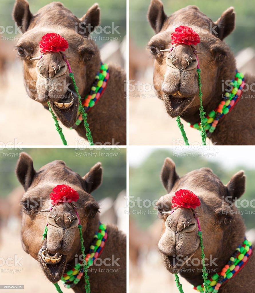 Nice smile elegant camel stock photo