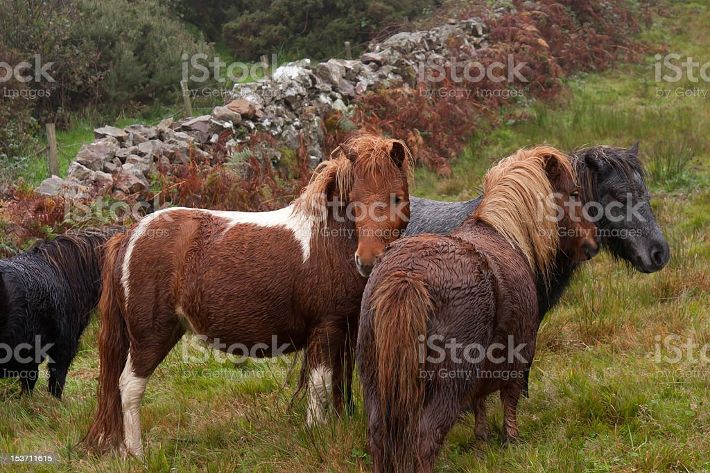 Nice things come in small packages-shetlands standing together. royalty-free stock photo