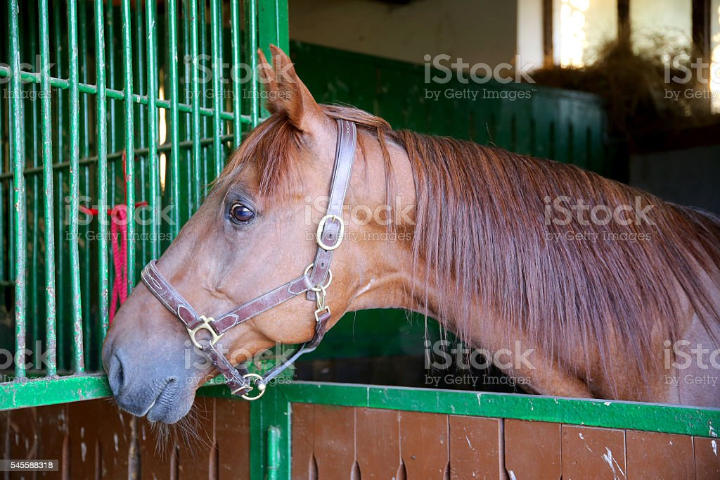 Nice thoroughbred  young chestnut racehorse standing at the stab stock photo