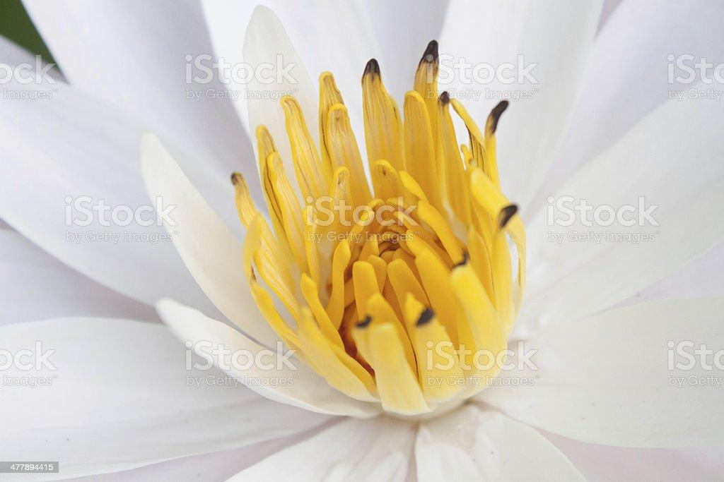 nice water lily closeup royalty-free stock photo
