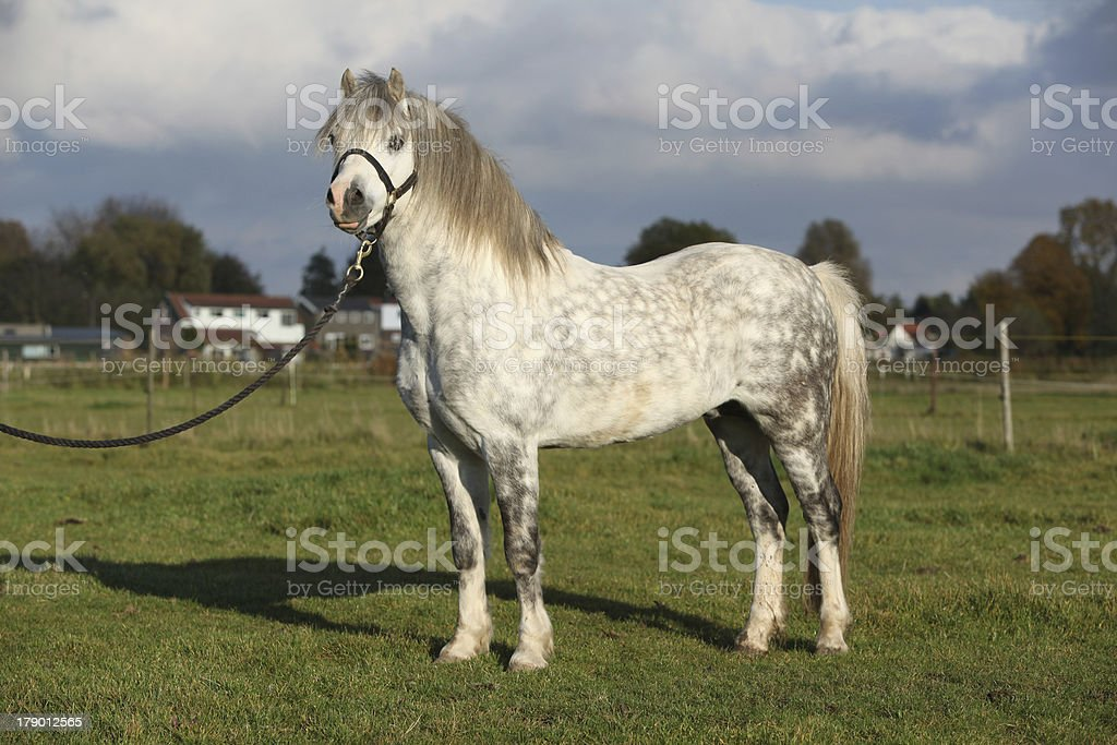 Nice welsh mountain pony stallion with halter royalty-free stock photo
