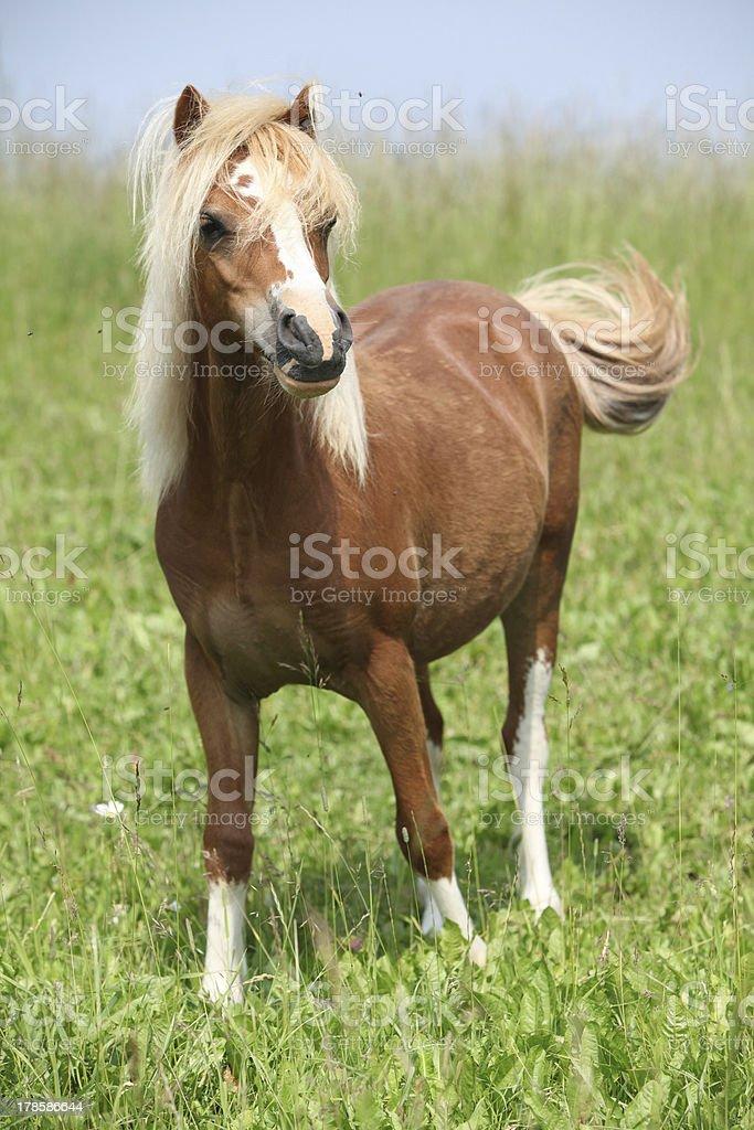 Nice welsh mountain pony standing on pasturage stock photo