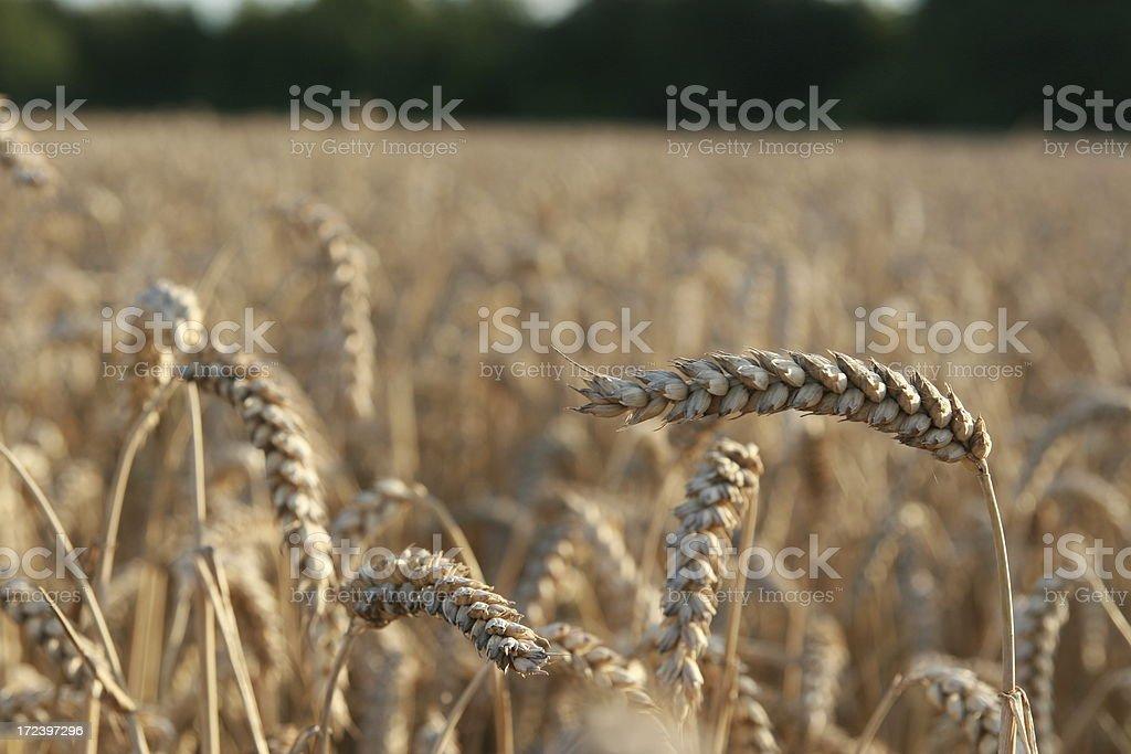 Nice wheat crop. stock photo