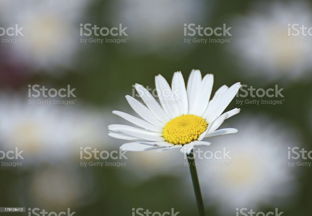 nice white Daisy with yellow stamens and other flowers royalty-free stock photo