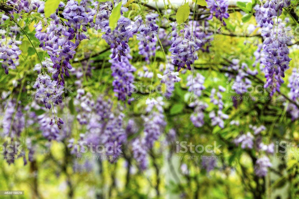 Nice wisteria background stock photo