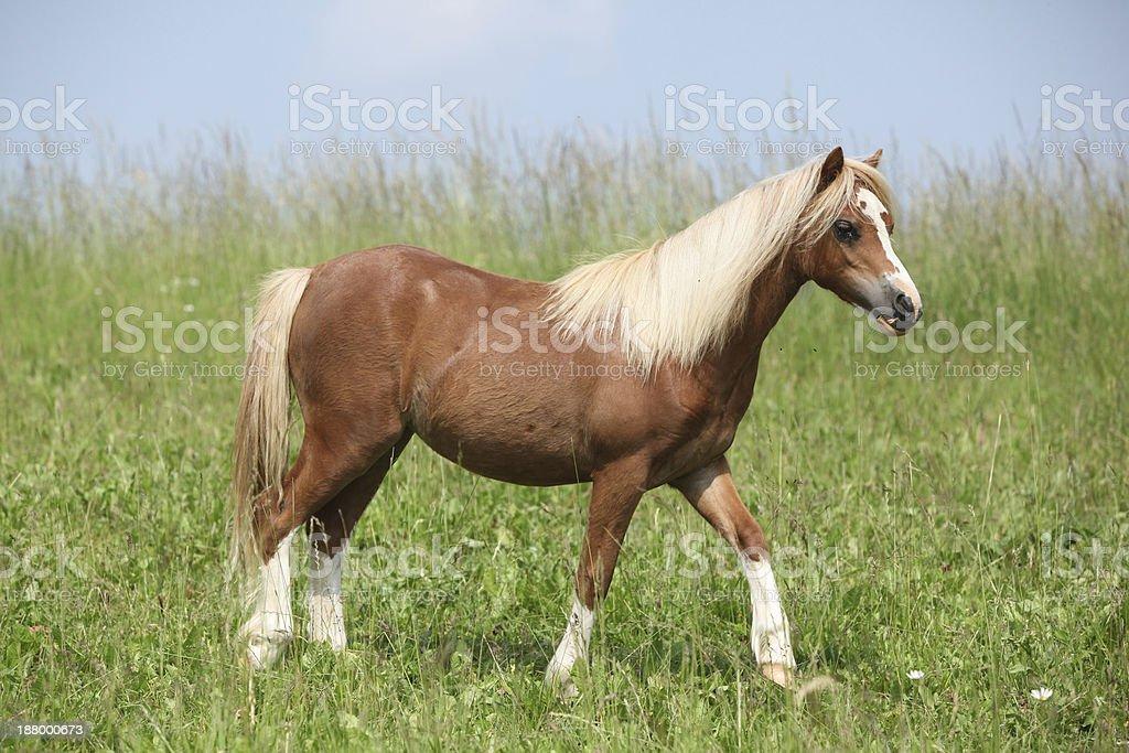 Nice young welsh mountain pony stock photo