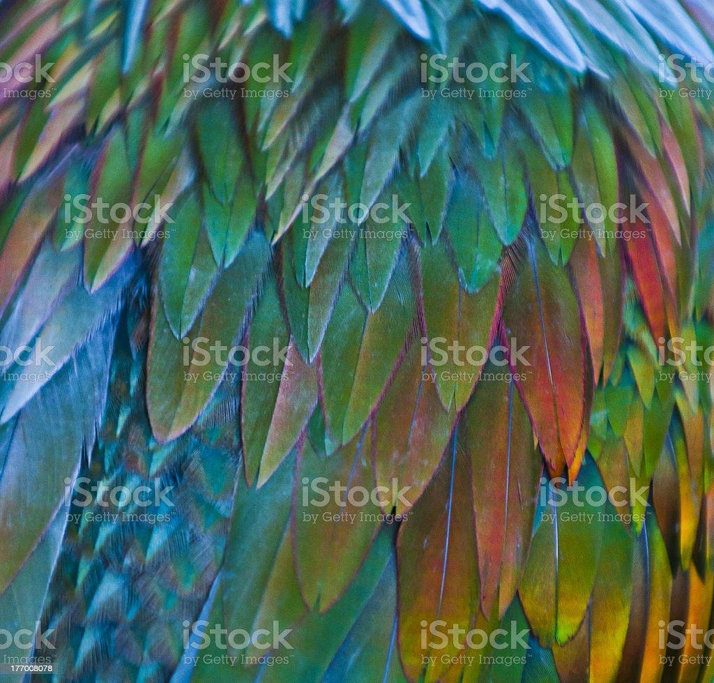 Nicobar Pigeon feathern pattern royalty-free stock photo