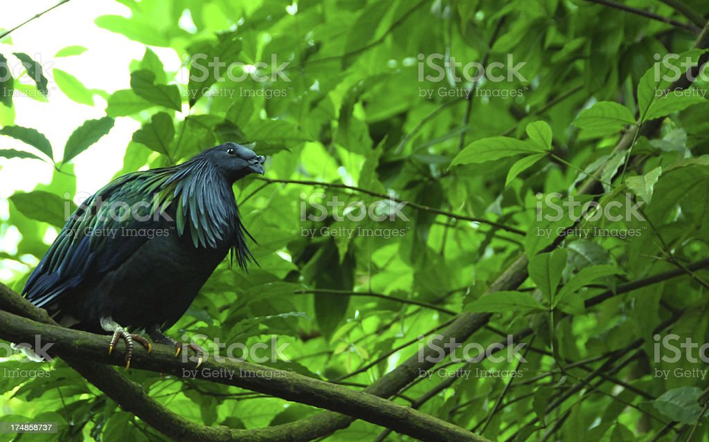 Nicobar pigeon royalty-free stock photo
