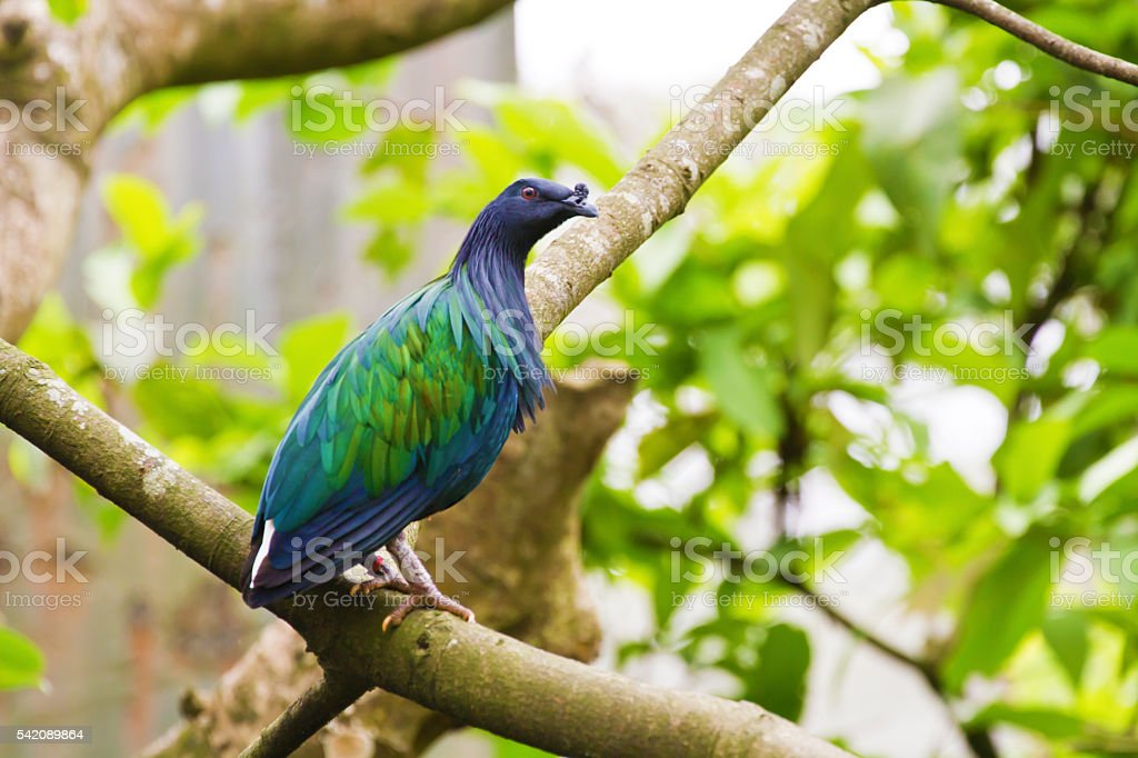 Nicobar Pigeon,Caloenas nicobarica stock photo