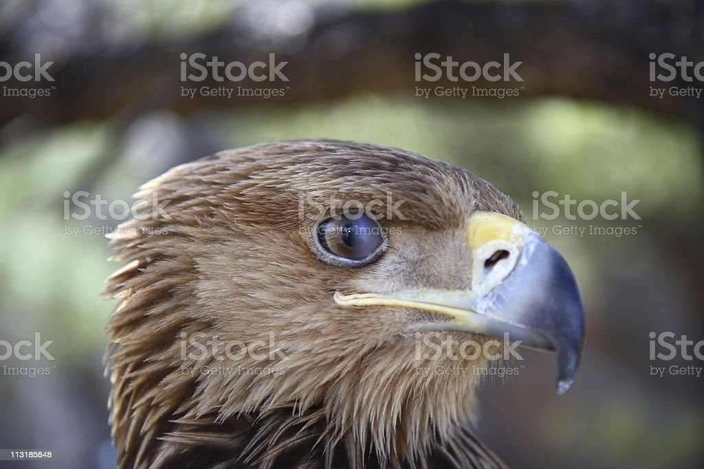 nictitating membrane (third eye lid) of a golden eagle stock photo