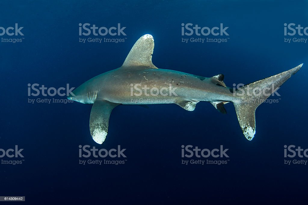 nigano shark stock photo