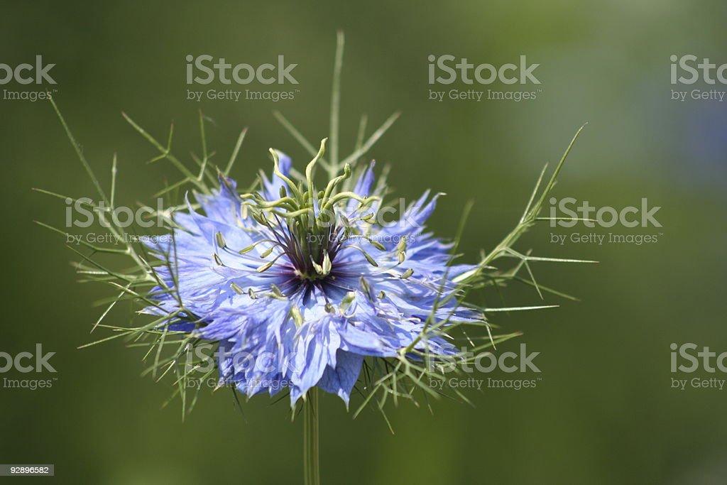 Nigella damascena (love in the Mist) royalty-free stock photo