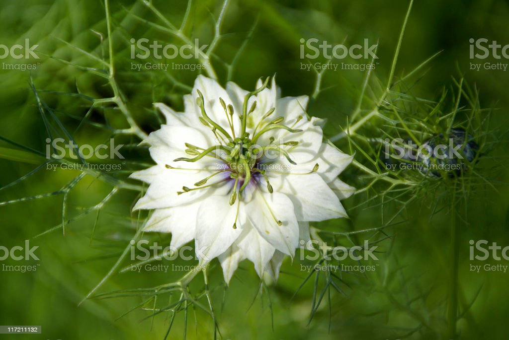 Nigella Flower royalty-free stock photo