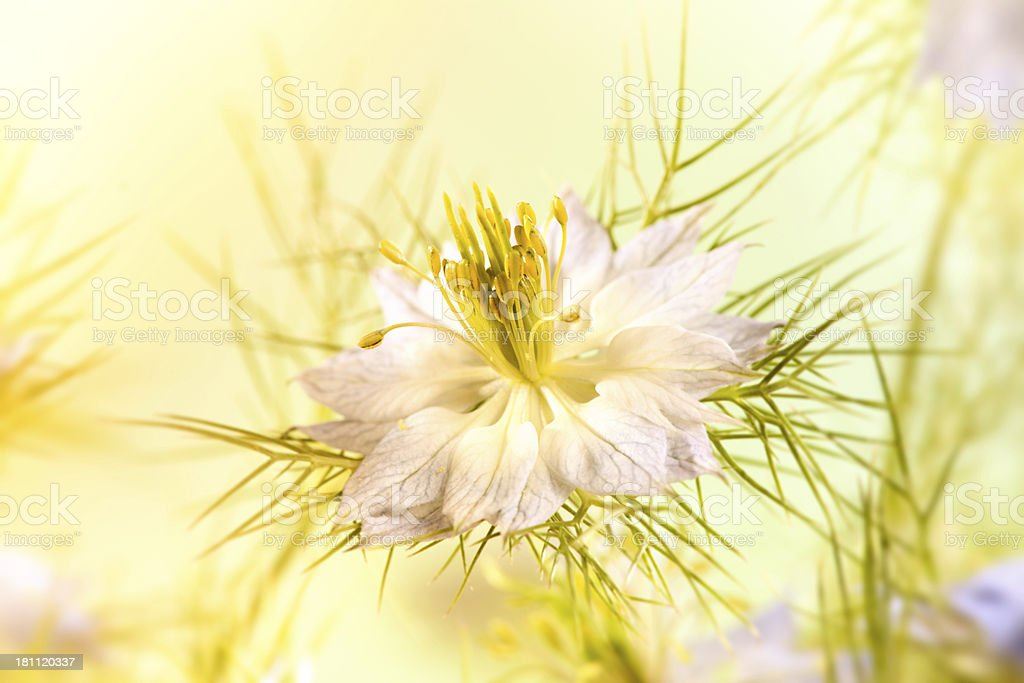Nigella Love-in-a-mist flower stock photo