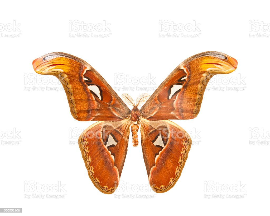 night Atlas moth (Attacus) stock photo