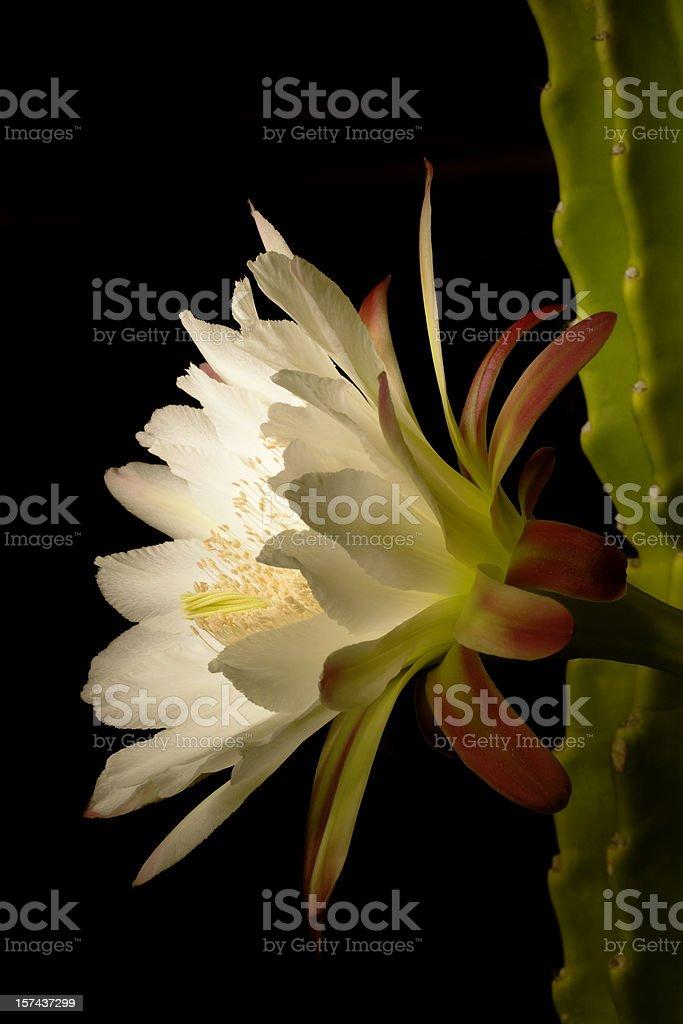Night blooming cactus stock photo