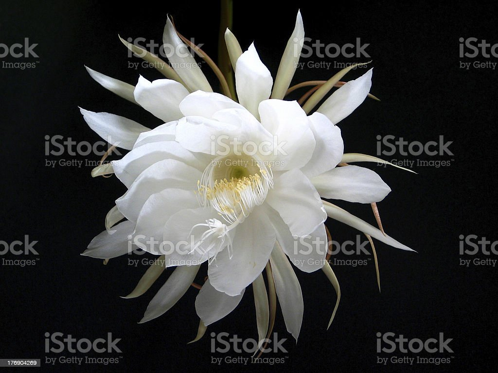 Night Blooming Cereus [Cactus Flower] royalty-free stock photo