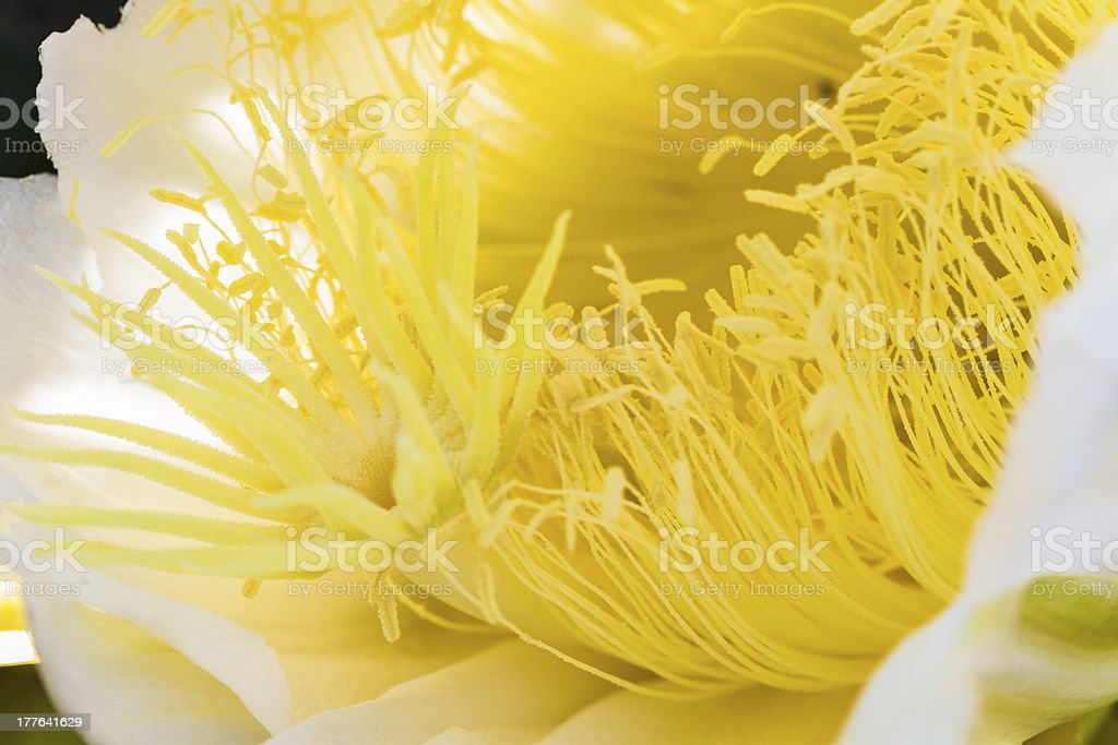 Night Blooming Cereus royalty-free stock photo