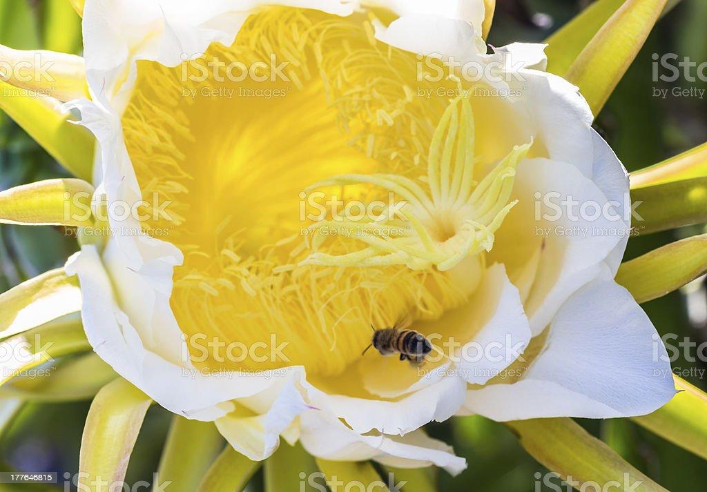 Night Blooming Cereus royalty-free stock photo