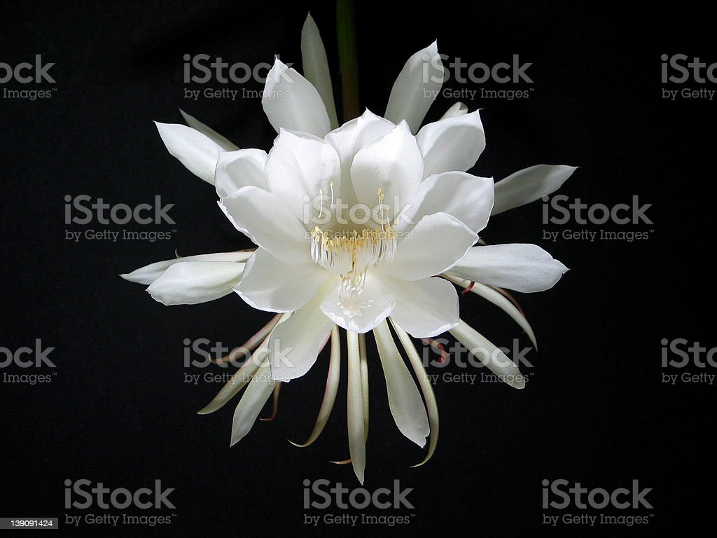 Night Blooming Cereus [Queen of the Night] royalty-free stock photo