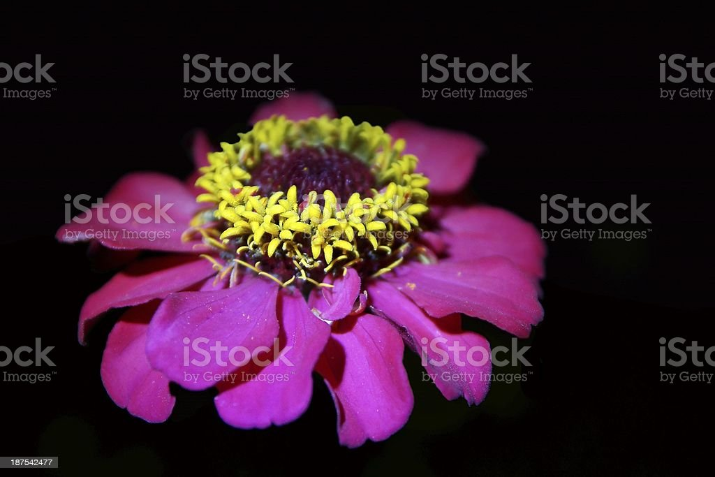 Night Flower Isolated on Black royalty-free stock photo