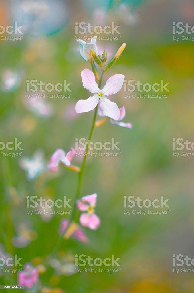 Night flowers violet spring gentle Matthiola longipetala background