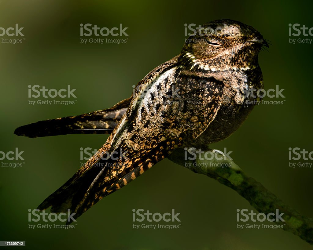 Night Hawk Bird Called Chuck Will's Widow Perched And Sleeping stock photo