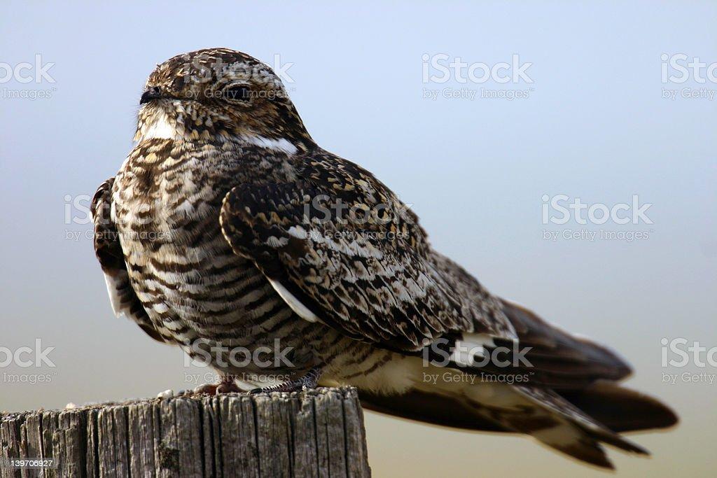 Night Hawk royalty-free stock photo