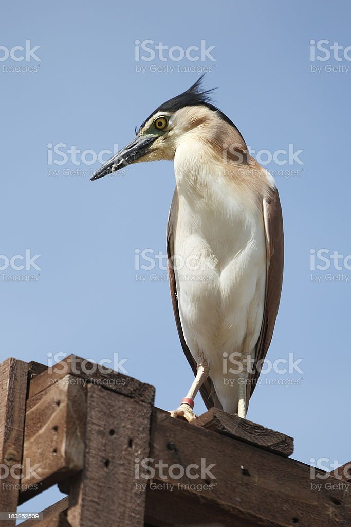 Night Heron stock photo