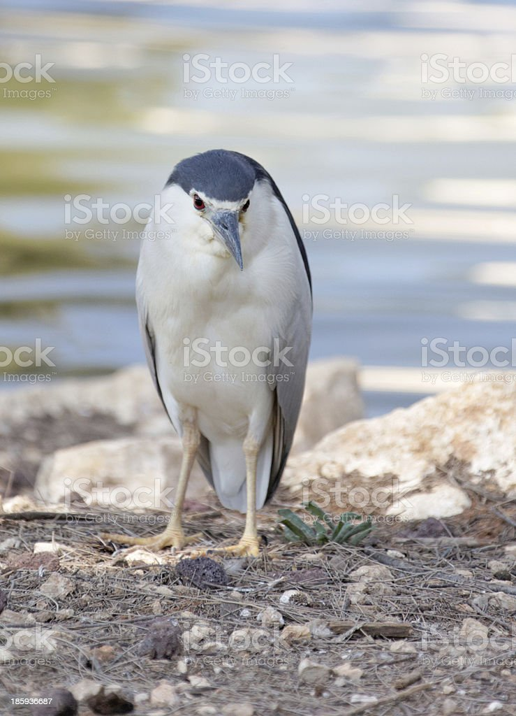 Night Heron royalty-free stock photo