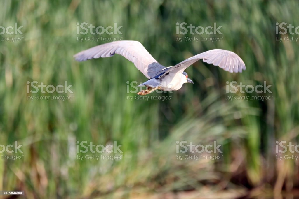 Night Heron stock photo