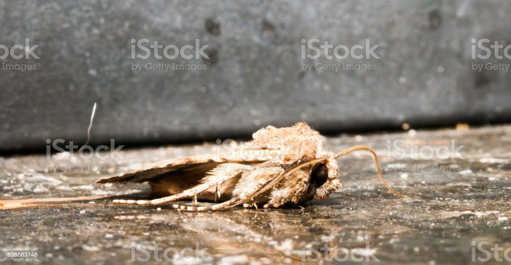 Night Insect Brown Moth stock photo