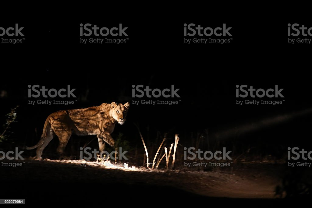 Night Lion stock photo