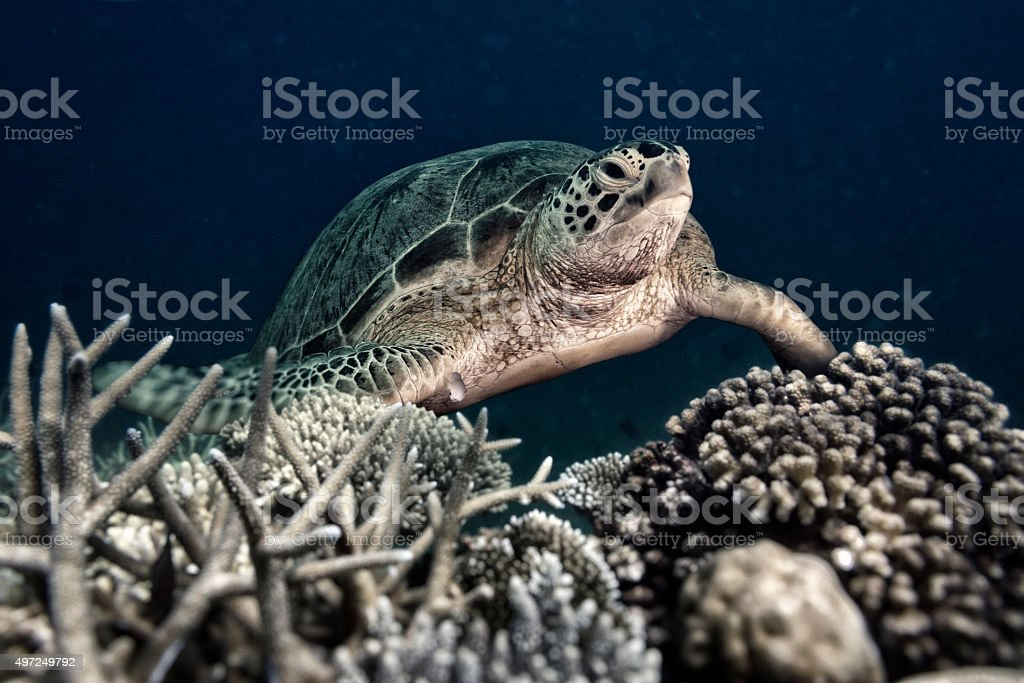 Night Shot of a Sea Turtle on Hard Corals stock photo