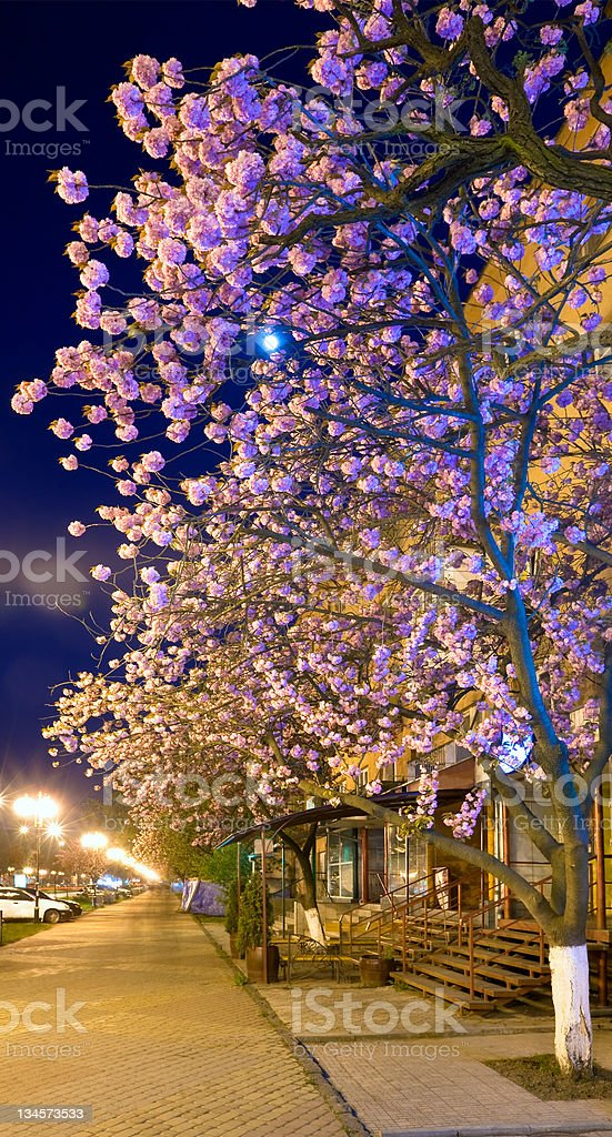 night urban view with  'Japanese flowering cherry' blossom stock photo