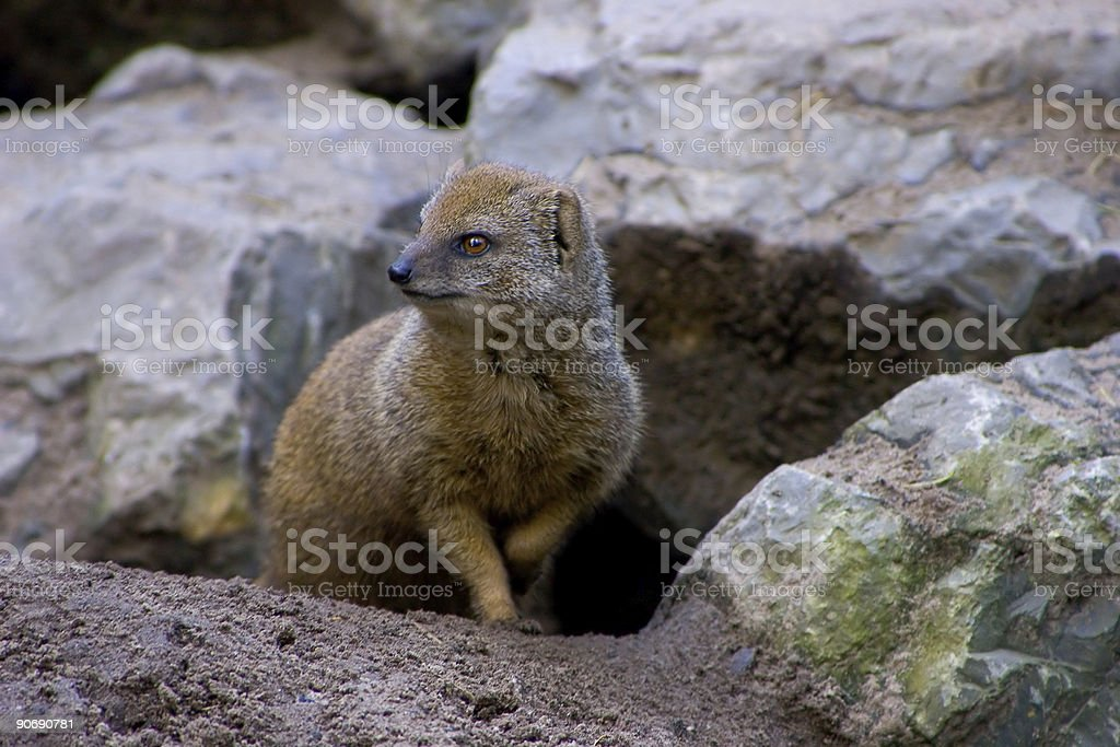 Night Vision of a Mongoose stock photo