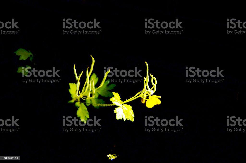 nightflower stock photo