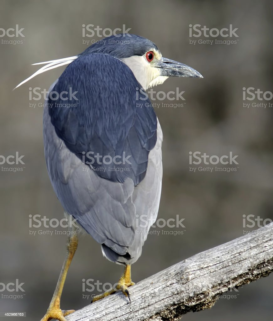 Night-Heron stock photo