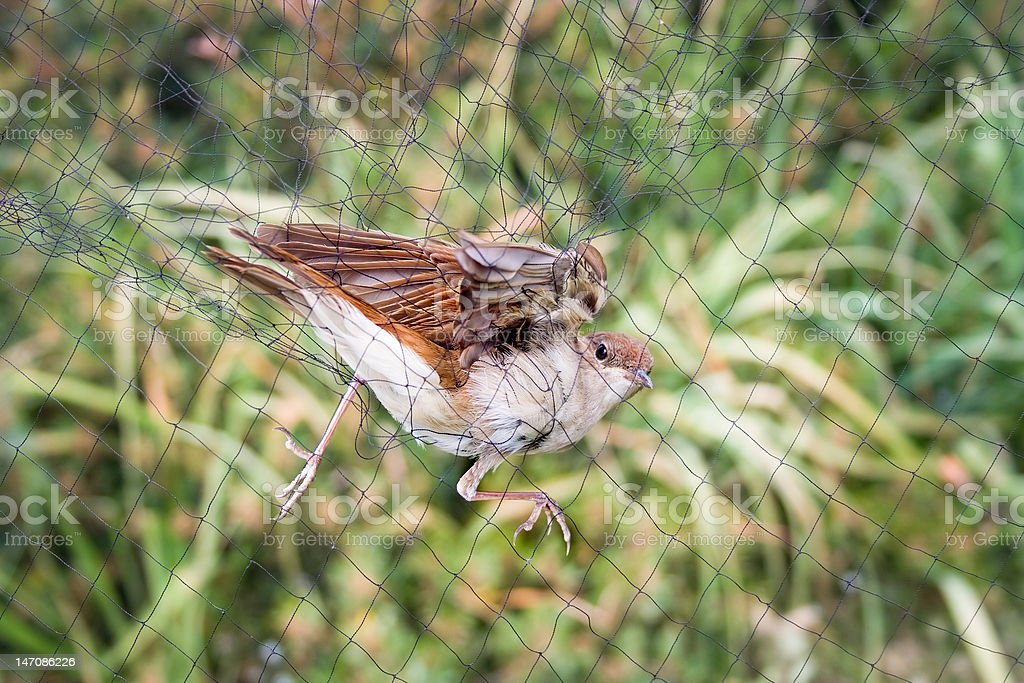 Nightingale got caught. royalty-free stock photo
