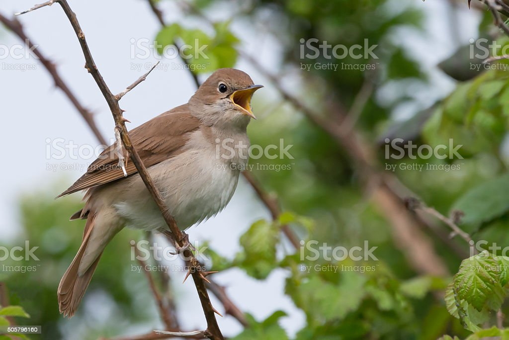 Nightingale singing at Pulborough brooks RSPB reserve stock photo