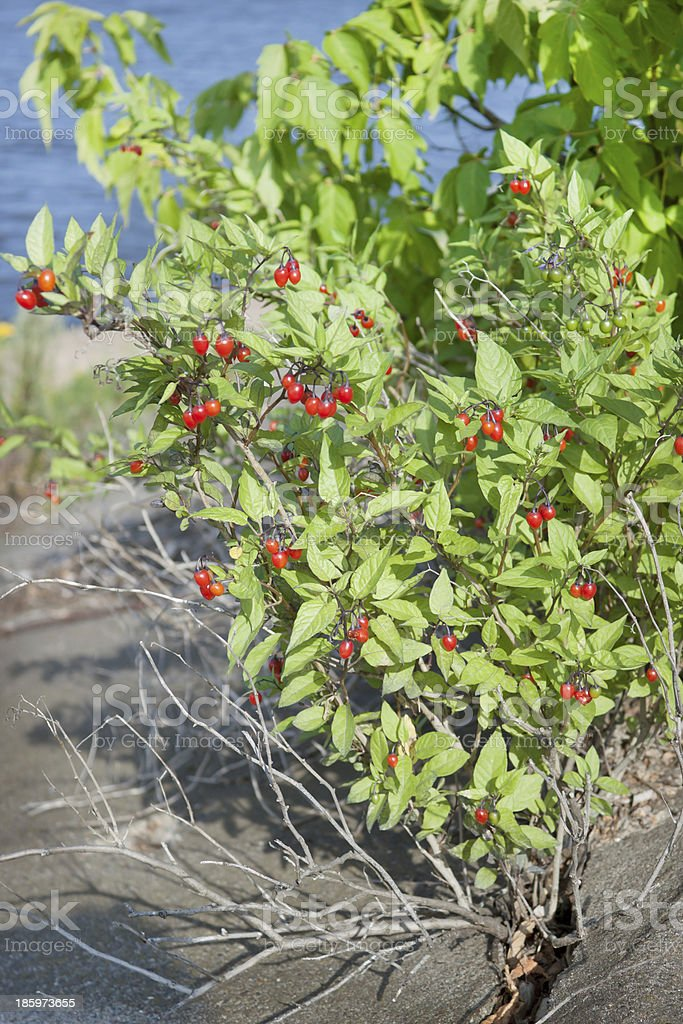 Nightshade bush with berries royalty-free stock photo