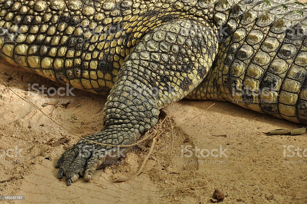 nile crocodile claws and skin detail royalty-free stock photo