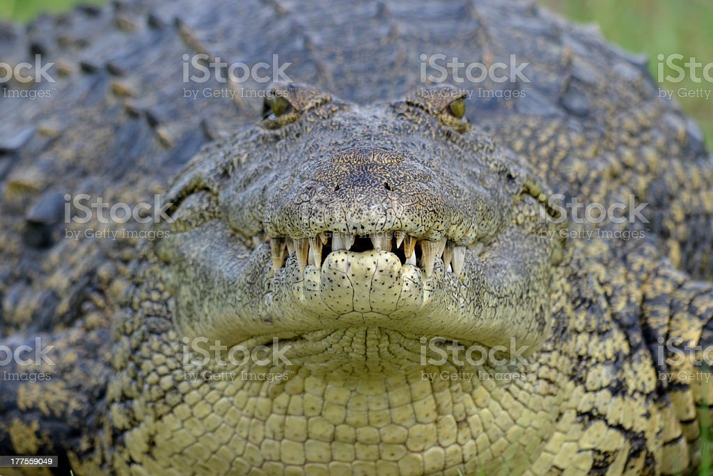 Nile Crocodile (Crocodylus niloticus) close up of head facing camera stock photo