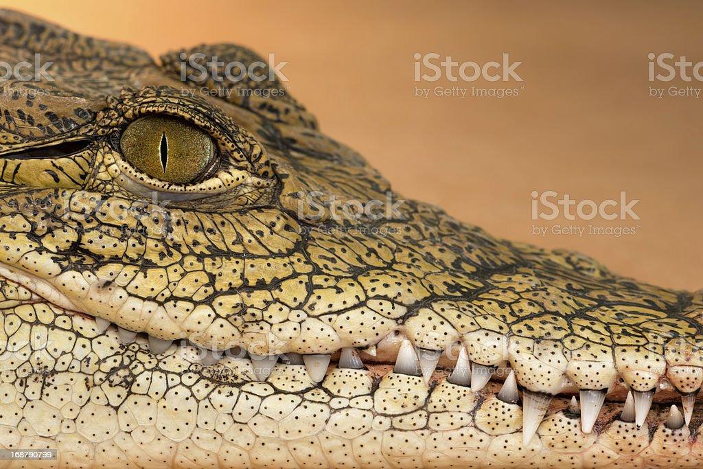 Nile crocodile closeup royalty-free stock photo