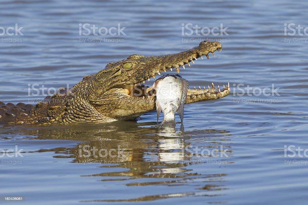 Nile Crocodile (Crocodylus niloticus) eating, South Africa royalty-free stock photo