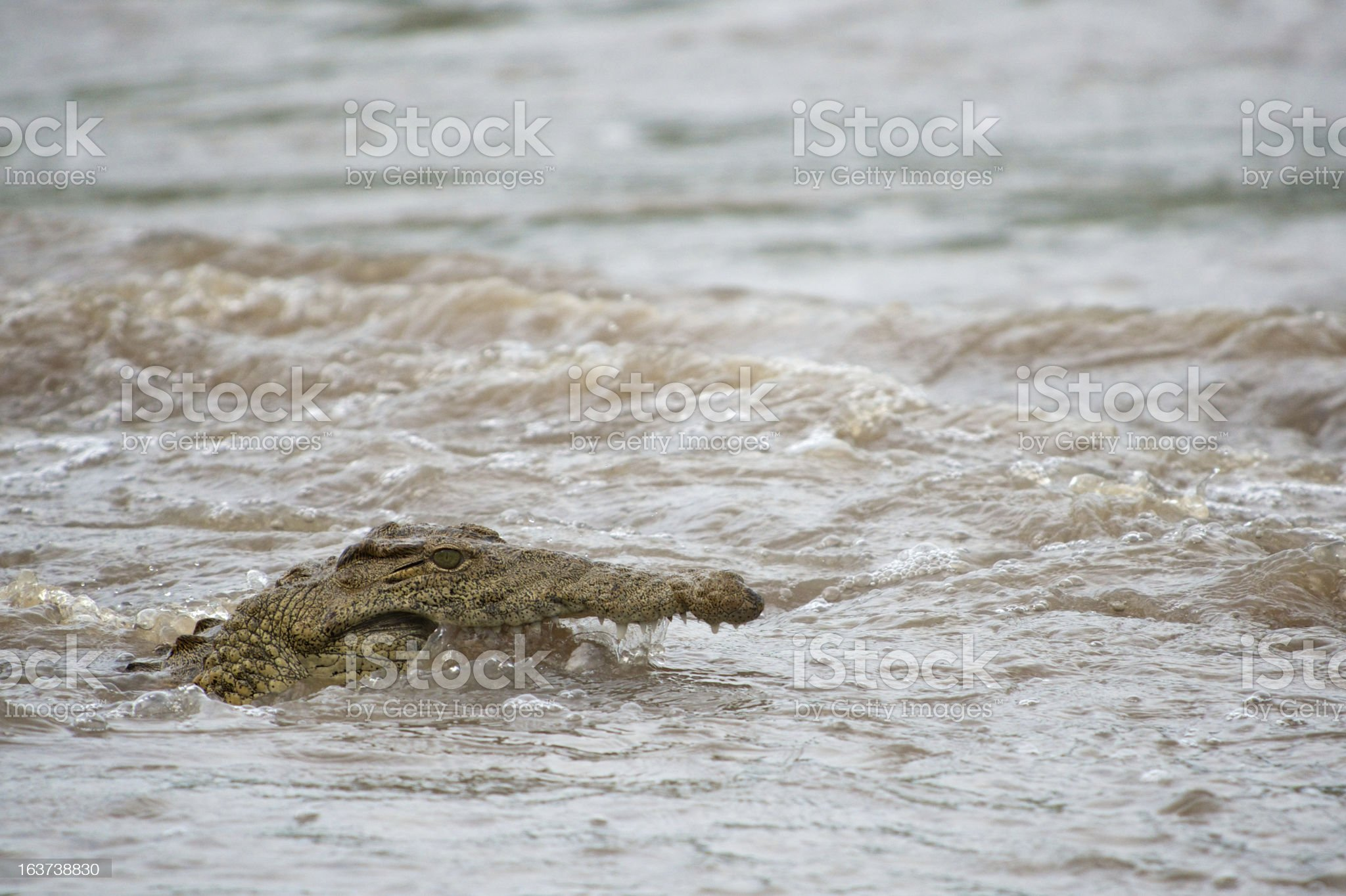 Nile Crocodile in Water royalty-free stock photo