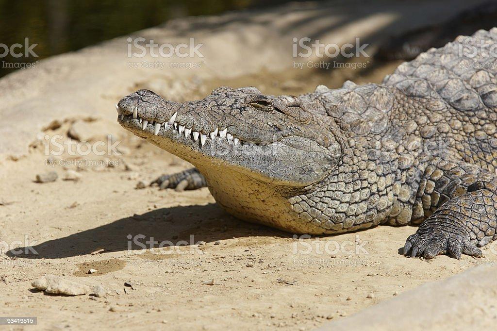 Nile Crocodile royalty-free stock photo